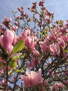 Flower Spring Tree Pink Himmel Magnolia Sweden